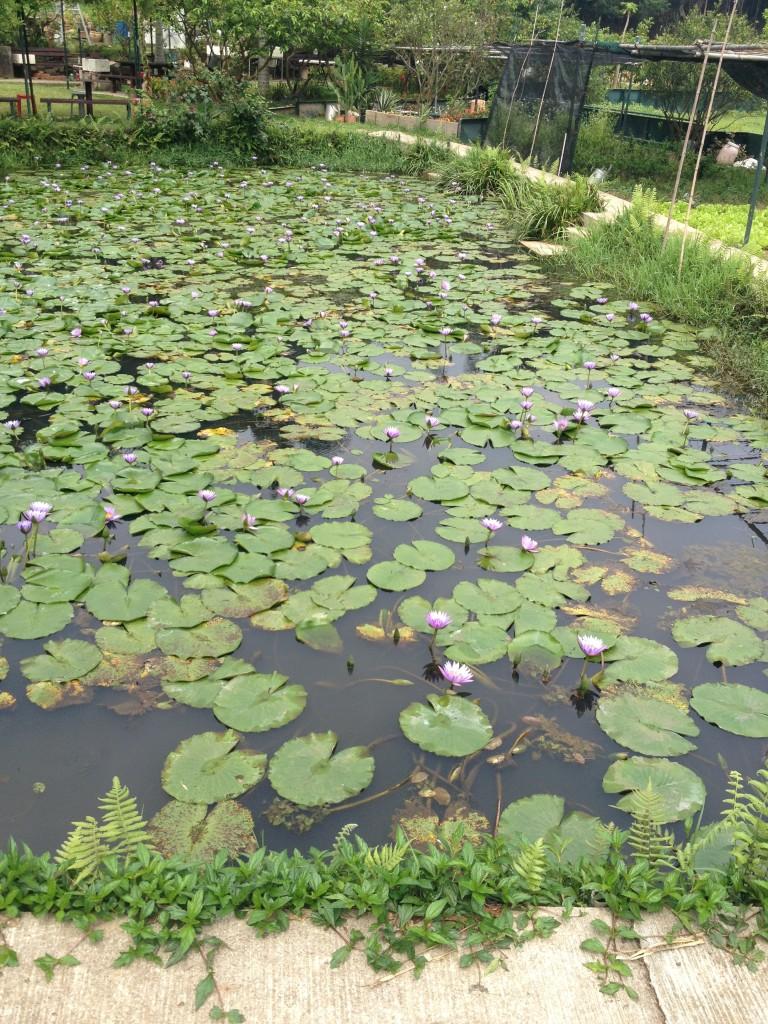 Tsing-Fai-Tong-lotus.jpg